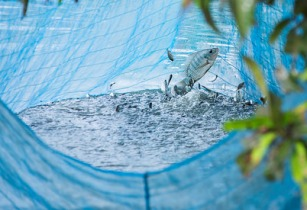 Malaysia set to boost tilapia production