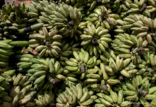 FAO seeks to manage serious threat to the world's bananas