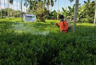 Omex tea 2 Foliar feeding the Omex Way