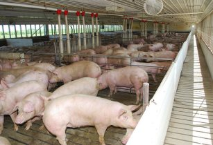 Hypor emphasises on ventilation to avoid heat stress for pigs