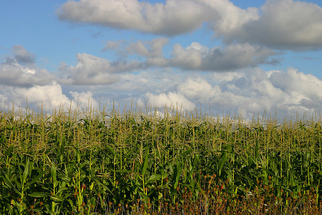 corn agriculture field crop oragriculture Flickr