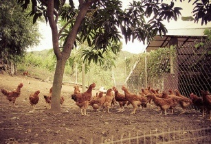 Phillippines increases poultry exports