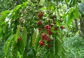 Protectant copper fungicide still the first choice for tropical tree crops