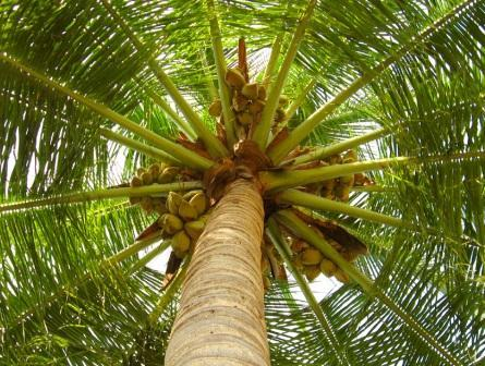 "With its seemingly endless products derived from its various parts, the coconut indeed deserves to be called the ""tree of life"""