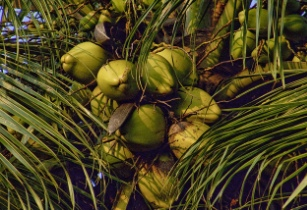 thai coconut